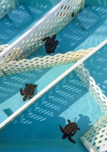Five month old Loggerheads in their apartments, awaiting release at the Marinelife Center in Juno Beach