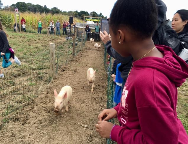 Piglet races!