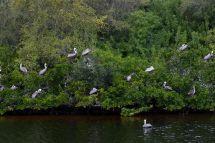 Pelicans in trees