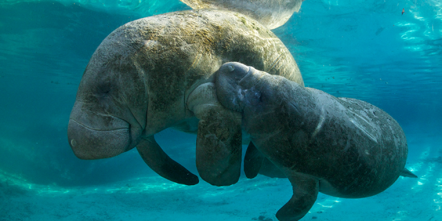 florida-manatee_jan-reyneirs