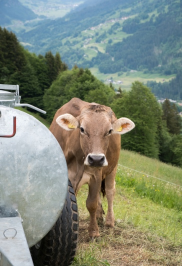 Can you ever have too many cow photos? Maybe.